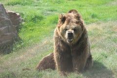 Oso niedźwiedź Zdjęcia Stock