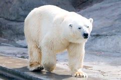 Oso polar Foto de archivo libre de regalías