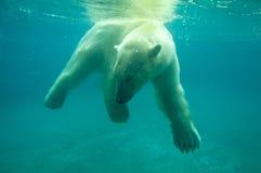 Oso polar fotos de archivo