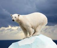 Oso polar Fotografía de archivo libre de regalías