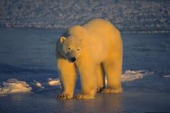 Oso polar imágenes de archivo libres de regalías