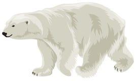 Oso polar adentro   Imagen de archivo libre de regalías