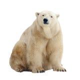 Oso polar. Aislado sobre blanco Imagen de archivo