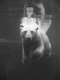 Oso polar bajo el agua Fotos de archivo