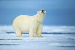 Oso polar, bestia de mirada peligrosa en el hielo con nieve en Rusia del norte Foto de archivo