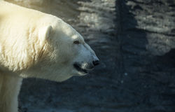 Oso polar, bestia de mirada peligrosa en el parque zoológico fotos de archivo