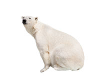 Oso polar blanco Imagen de archivo libre de regalías