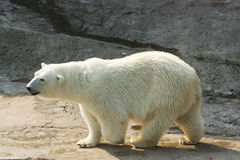 Oso polar blanco Fotografía de archivo