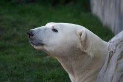 Oso polar blanco Imágenes de archivo libres de regalías
