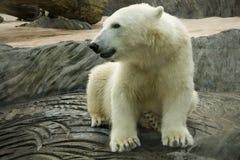 Oso polar blanco en parque zoológico Imagen de archivo libre de regalías