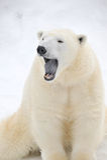 Oso polar cansado lindo Foto de archivo libre de regalías