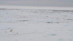 Oso polar con dos cachorros metrajes