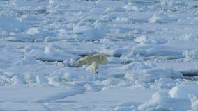 Oso polar con el cachorro almacen de metraje de vídeo