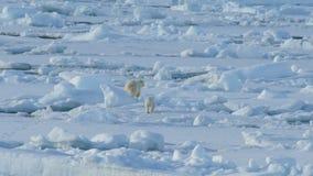 Oso polar con el cachorro almacen de video