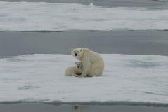 Oso polar con el cachorro Fotos de archivo