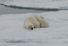 Oso polar con el cachorro Foto de archivo