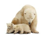 Oso polar con los cachorros. Aislado sobre blanco Fotografía de archivo libre de regalías