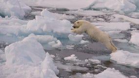 Oso polar Cub Fotografía de archivo libre de regalías