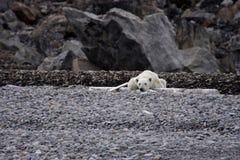 Oso polar de reclinación Foto de archivo
