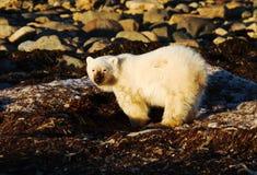 Oso polar del bebé que cava para la comida Imágenes de archivo libres de regalías