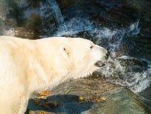 Oso polar del od del retrato cerca del agua - maritimus del Ursus Fotografía de archivo libre de regalías