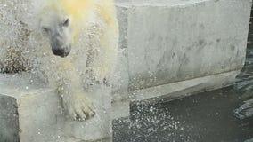 Oso polar después de la nadada almacen de metraje de vídeo