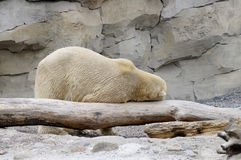 Oso polar divertido Fotos de archivo libres de regalías