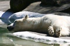 Oso polar el dormir Imagen de archivo