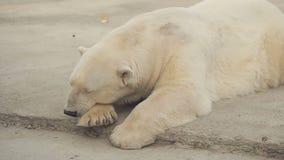 Oso polar el dormir metrajes