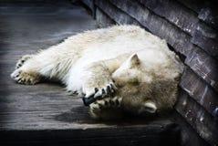 Oso polar Embarrassed Imágenes de archivo libres de regalías