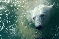 Oso polar en agua Imágenes de archivo libres de regalías