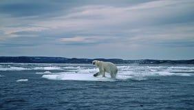 Oso polar en el ártico canadiense Fotos de archivo libres de regalías