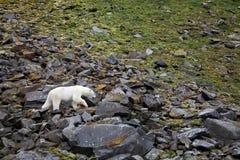 Oso polar en el ártico del verano imágenes de archivo libres de regalías
