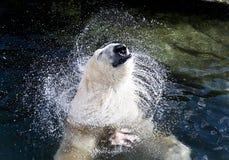Oso polar en el agua Imagen de archivo libre de regalías