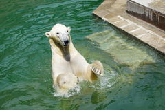 Oso polar en el frente de las piernas posteriores foto de archivo