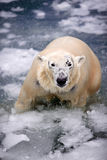 Oso polar en el hielo Imágenes de archivo libres de regalías