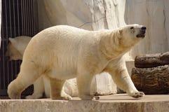 Oso polar en el pabellón del parque zoológico Imágenes de archivo libres de regalías