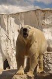 Oso polar en el pabellón del parque zoológico Fotos de archivo
