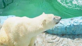 Oso polar en el parque zoológico almacen de video
