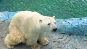 Oso polar en el parque zoológico metrajes