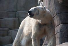 Oso polar en el parque zoológico Fotos de archivo libres de regalías