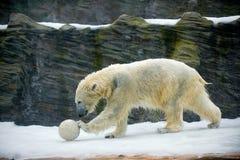 Oso polar en el parque zoológico de Praga Foto de archivo