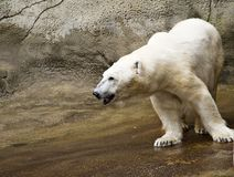 Oso polar en el parque zoológico Foto de archivo libre de regalías