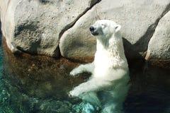 Oso polar en el sol Imagen de archivo libre de regalías