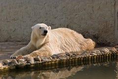 Oso polar en un parque zoológico Imagen de archivo