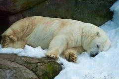 Oso polar en un parque zoológico foto de archivo