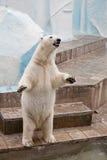Oso polar en un parque zoológico imagen de archivo libre de regalías