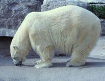 Oso polar hambriento foto de archivo libre de regalías