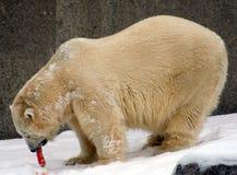 Oso polar hambriento Imágenes de archivo libres de regalías