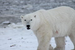 Oso polar Hudson Bay (5) Imagenes de archivo